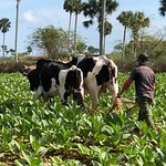 Discover Vinales Working on a Farm Tour - Ploughing
