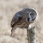 Great Grey Owl safari - bookable in April and May
