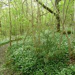 Sea of wild garlic