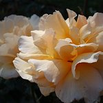 an abundance of roses