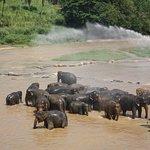 Elephant herd bathing