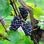 Pinot Noir Just before harvest