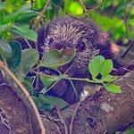 Mexican Hairy Dwarf Porcupine