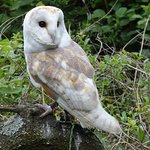 dusk the barn owl