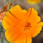 Great California Poppies at Antelope Valley Poppy Reserve!