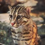 Adorable little fishing cat came right up to the glass and posed.