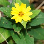Some weeds have pretty flowers and uses - leaves of these plants were used to wash dishes years