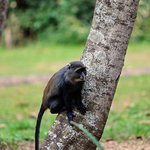 A Blue Monkey seen on the grounds