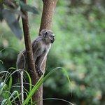 A Velvet monkey seen on the grounds