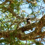 Hawaiian common mynah (Acridotheres tristis tristis)
