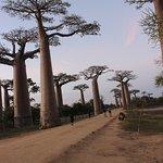 The Baobab avenue near Morondava