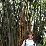 huge bamboo