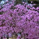 Nami Island cherry blossoms