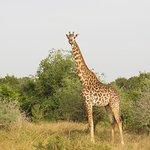 Maasai Giraffe in Saadani National Park