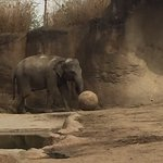 Elephant kicking the ball around.