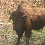 One of the bison I saw.