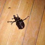 Огромный жук на веранде.Живой, только перевёрнутый.