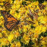 Monarch with Painted Ladies
