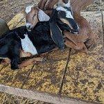 Honomu Goat Dairy照片