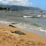 Hawaiian Green Sea Turtle taking a nap on the North Shore of O`ahu.