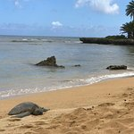 Napping Sea Turtle on the North Shore of O`ahu.