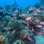 Large school of black bar soldierfish on reef dive.