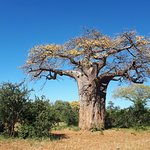 The majestic Baobab tree.