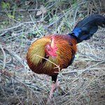 jungle fowl at yala national park,national bird of sri lanka