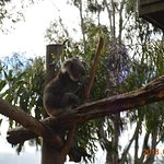 One of the many koalas on the premises.