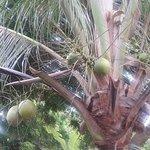 coqueiros lindos