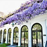The Wisteria was blooming!