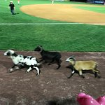Rams running at Frawley Stadium during rodeo