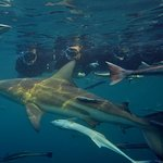 Φωτογραφία: Shark Cage Diving KZN