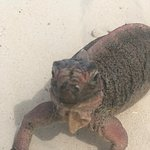 Einer der freundlichen Iguanas