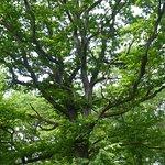 un chêne majestueux