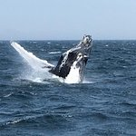 Windrose, a 10 year old whale breaching