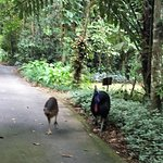 Cassowary Dad and chick on the path at Heritage Lodge, Diwan