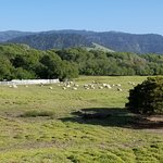 Mission Ranch 'resident' sheep...