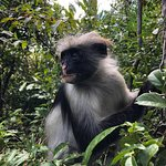 roter Colobus Affe im Jozani Forest - Nationalpark