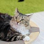 Мехенди: красивая и характерная кошка