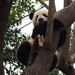 Photo of Giant Panda Breeding Research Base (Xiongmao Jidi)