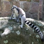 Ring-tailed lemur chilling
