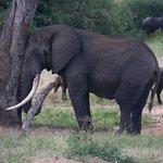 male elephant in must