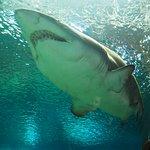 Imagen de uno de los tiburones