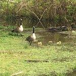 Spring goslings.