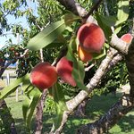 Peaches grown on the property. One pie contains three pounds of peaches!
