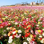 Flower Fields, Carlsbad, California, USA