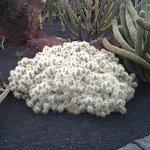 Une des inombrables variétés de cactus