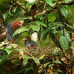 Blue Magpie with nest