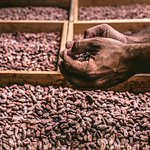 Sun drying cacao beans